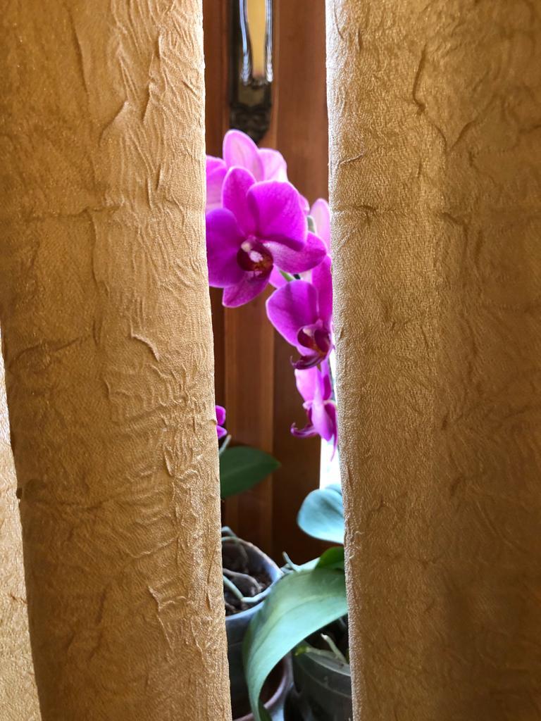 4BNR - Marta Paira La vita sboccia oltre ogni barriera ed ostacolo Nel mio salotto, sul davanzale, dietro due grandi tende abbiamo queste orchidee che per molti mesi all'anno sono fiorite. Guardandole lì, seminascoste, ho pensato a come la natura continui a rinascere e credo che anche noi lo faremo, anche dopo questo triste periodo.